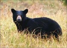 black-bear-e1423508047152
